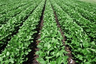 150 Bushel Soybeans