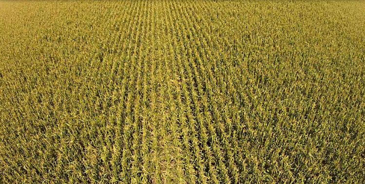 Damaged Corn Field